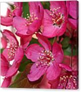 Crapapple Blossoms Canvas Print