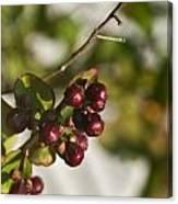 Crape Myrtle Fruit Canvas Print