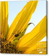 Crawling Along The Sunflower Canvas Print