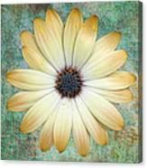 Cream Coloured Daisy Canvas Print