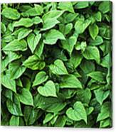 Creeping Navelwort (omphalodes 'alba') Canvas Print