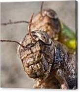 Crickets Mating Canvas Print
