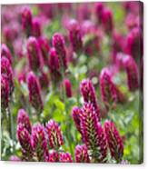 Crimson Clover In All Its Glory Canvas Print