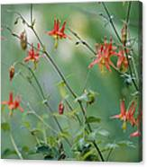 Crimson Columbines Aquilegia Formosa Canvas Print