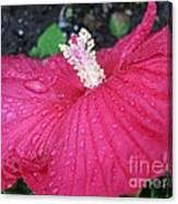 Crimson  Hibiscus Canvas Print