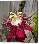 Crimson Passion Flower Canvas Print