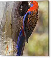 Crimson Rosella Canvas Print