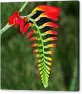 Crocosmia - Lucifer Plant Canvas Print