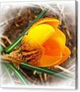 Crocus Gold Two Canvas Print