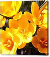 Crocuses In Yellow Canvas Print