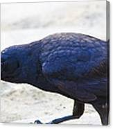 Crow Snacking Canvas Print