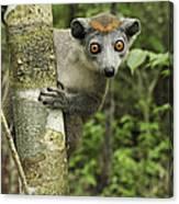 Crowned Lemur Eulemur Coronatus Female Canvas Print
