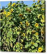 Crows In The Sunflowers Canvas Print