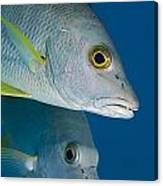 Cubera Snappers Canvas Print