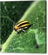 Cucumber Beetle Canvas Print