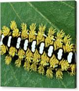 Cup Moth Limacodidae Caterpillar On Leaf Canvas Print