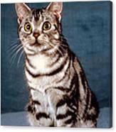 Curious American Shorthair Canvas Print
