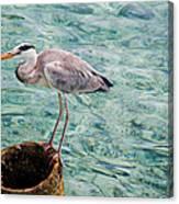 Curious Heron. Maldives Canvas Print