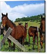 Curious Horses In Summer Canvas Print