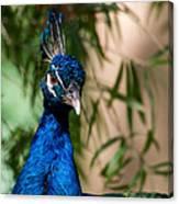 Curious Peacock Canvas Print