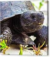Curious Turtle Canvas Print