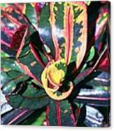 Curly Croton Canvas Print