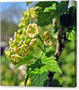 Currant In Bloom Canvas Print
