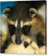 Cute Face Behind The Mask Baby Raccoon Canvas Print