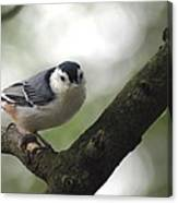 Cute Face Nuthatch Canvas Print