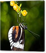 Cydno Longwing Butterfly Canvas Print