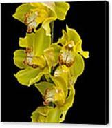 Cymbidium - Boat Orchid Canvas Print