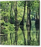 Cypress Trees Cross A Waterway Canvas Print