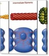 Cytoskeleton Components, Diagram Canvas Print