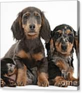Dachshund And Merle Dachshund Pups Canvas Print
