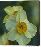 Daffodil 1 Canvas Print