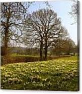 Daffodil Glade Canvas Print