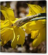 Daffodil Sunshine Canvas Print