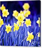 Daffodils Flowers Canvas Print