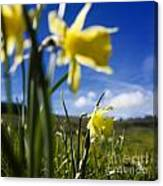 Daffodils In Cezallier. Auvergne. France. Europe Canvas Print