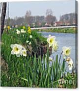 Daffodils In Holland 01 Canvas Print
