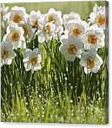 Daffodils In The Dew Covered Grass Canvas Print