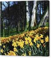 Daffodils Narcissus Flowers In A Forest Canvas Print