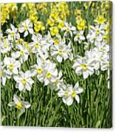 Daffodils (narcissus Sp.) Canvas Print