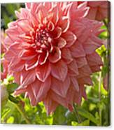 Dahlia Dahlia Sp Beverly Fly Variety Canvas Print