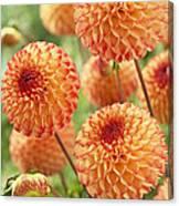 Dahlia Dahlia Sp Mirella Variety Flowers Canvas Print