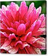 Dahlia Dew Drops Canvas Print