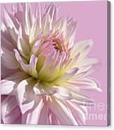 Dahlia Flower Pretty In Pink Canvas Print