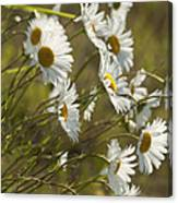 Daisies Blowin In The Wind Canvas Print