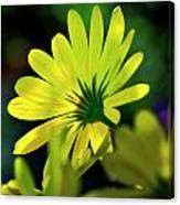 Daisy A Different Look Canvas Print