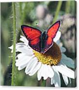 Daisy And Butterfly Canvas Print